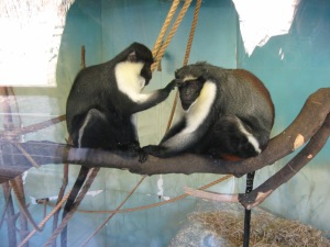Two Diana Monkeys...
