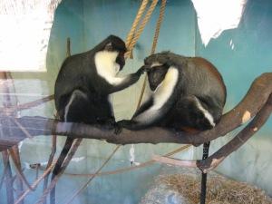 Two Diana Monkeys...