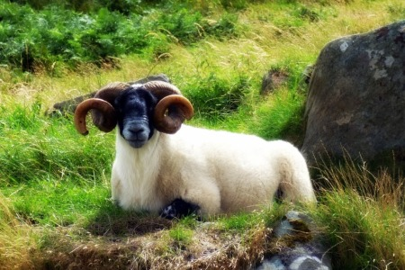 One mean looking sheep.
