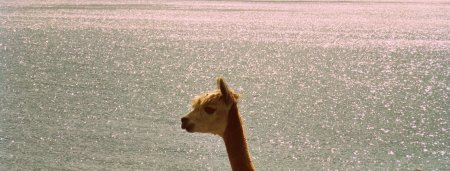 These llamas are surprisingly photogenic.