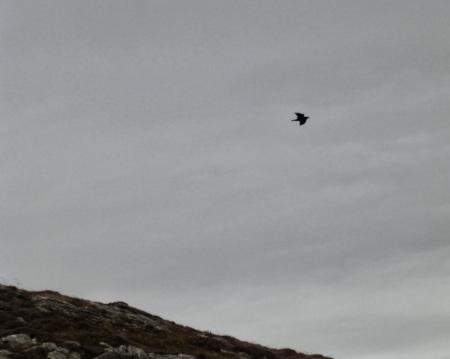 Maybe a buzzard?