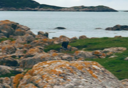 A hooded crow!