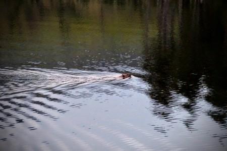 Hello Mr Beaver!